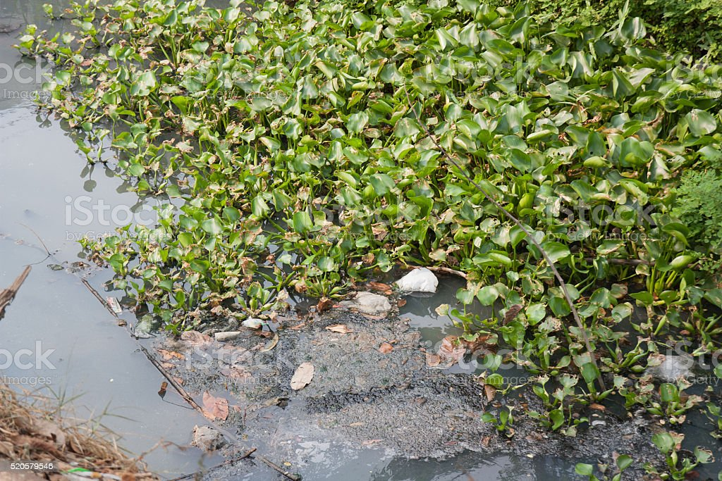 Green water hyacinth, garbage and sewage canals. stock photo