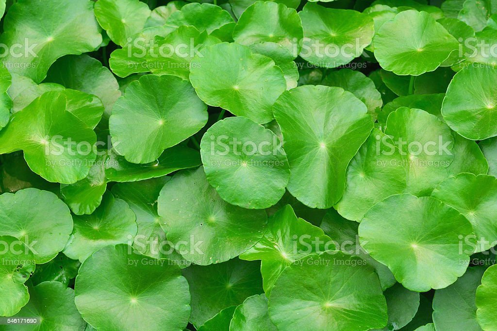 Green water hyacinth leaves stock photo