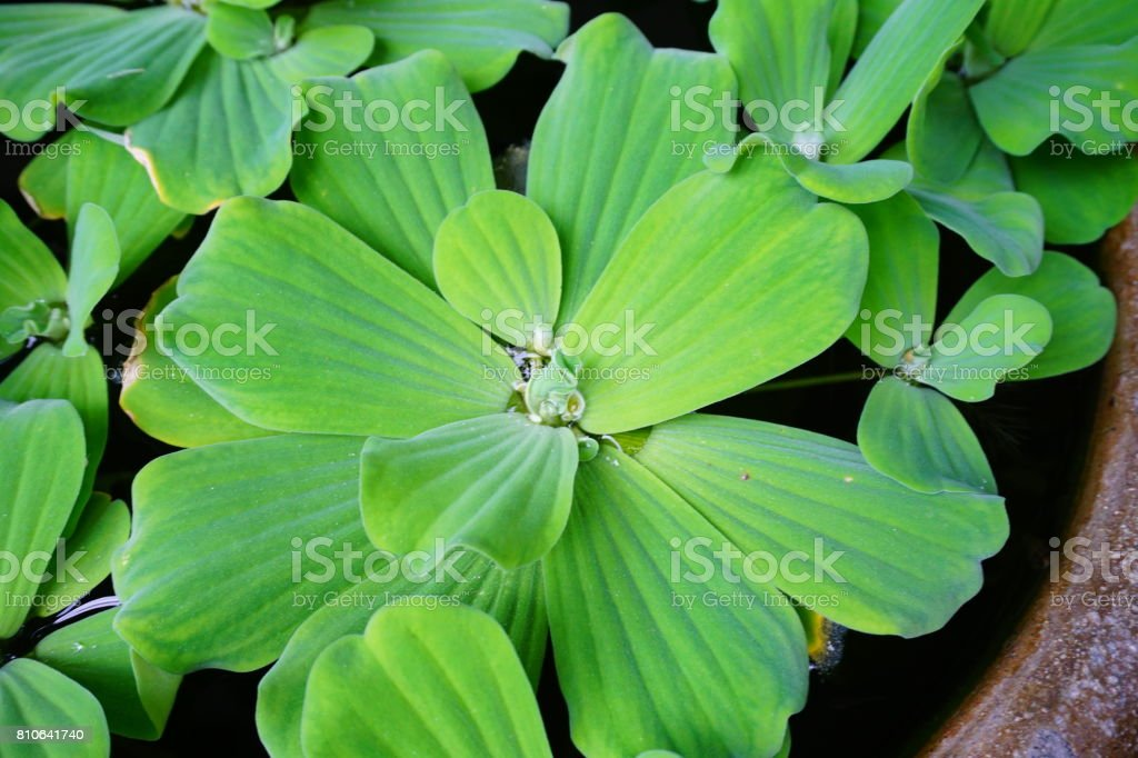Green Water Lettuce Aquatic Plant stock photo