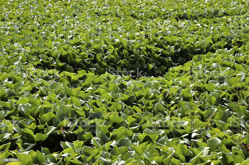 Green water lettuce in the pond stock photo