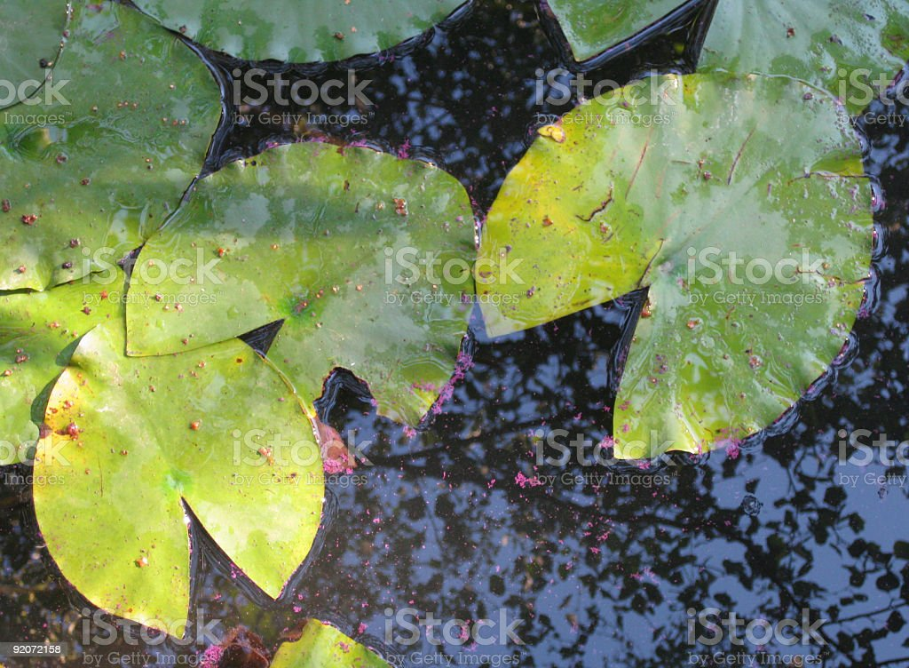 Green water lily pads, view from above royalty-free stock photo