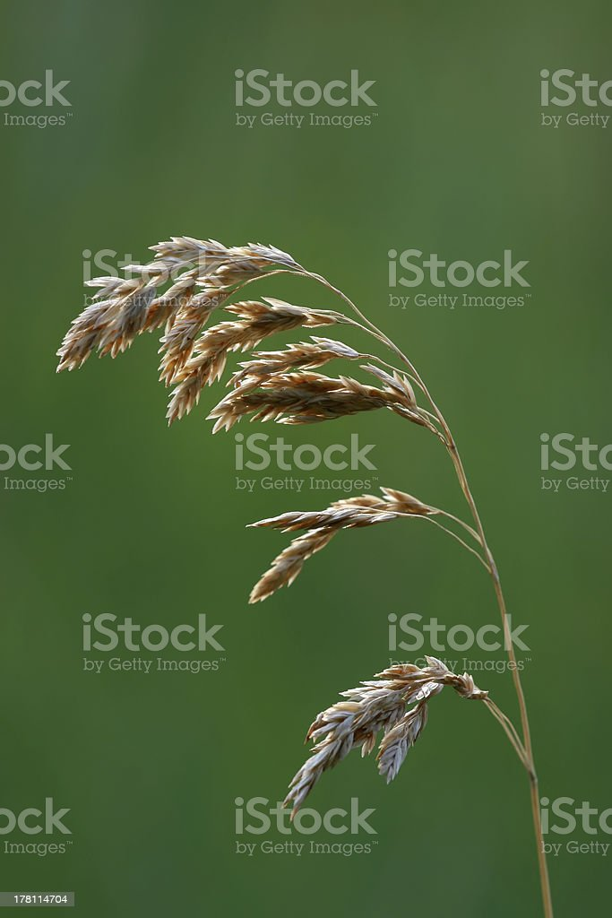 green weeds royalty-free stock photo