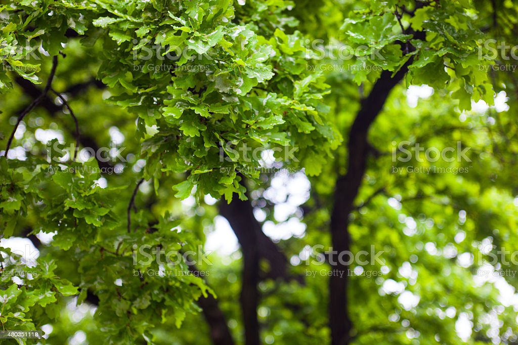 Green wet branches of the oak tree after the rain stock photo