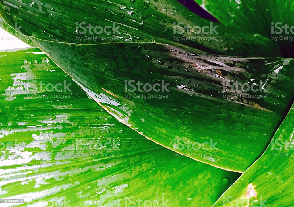 Green wet leaves background royalty-free stock photo