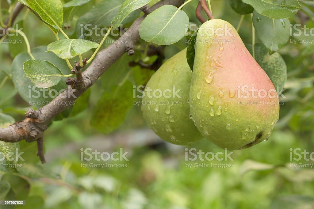Green wet pears hanging on the tree branch stock photo