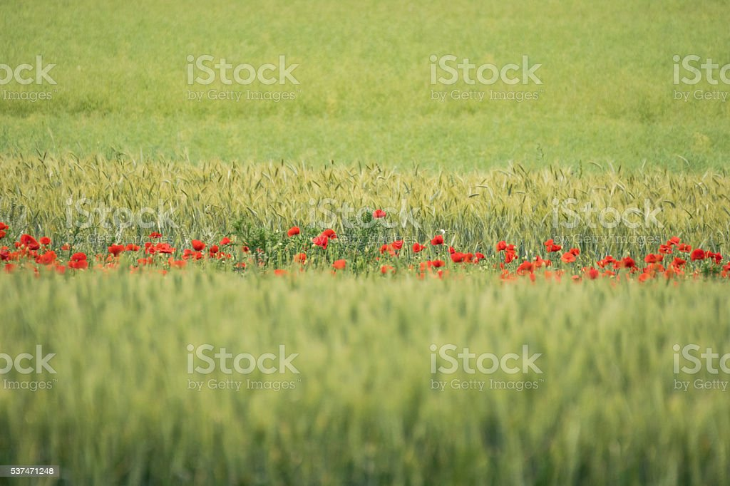 Green Wheat and red poppies stock photo