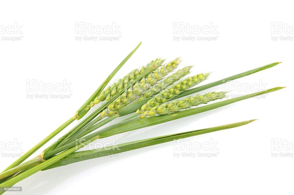 Oreille de blé vert photo libre de droits