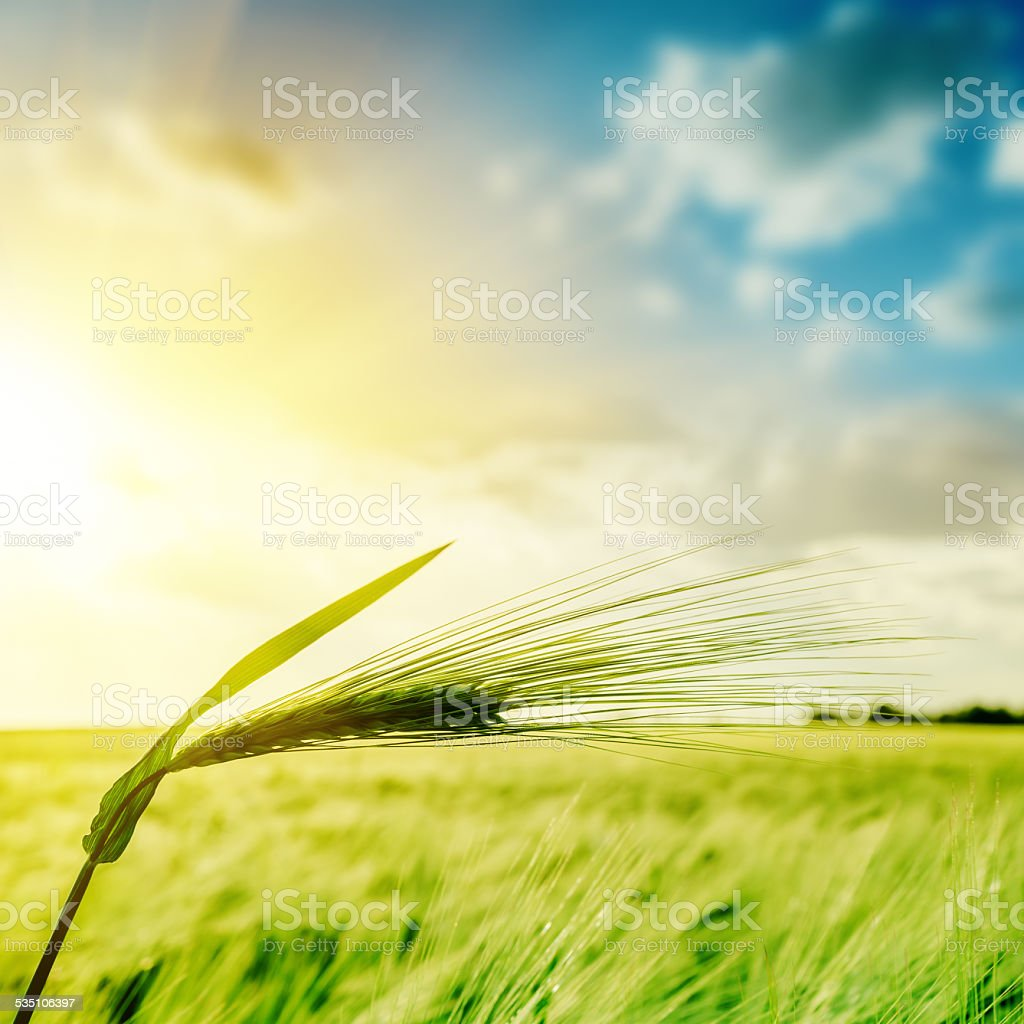 green wheat ears over field and sunset stock photo