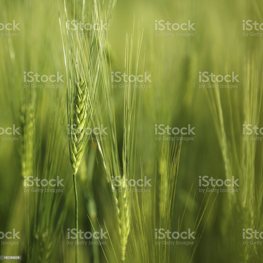 green wheat ears royalty-free stock photo