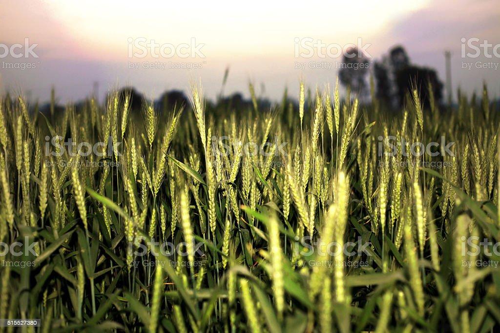 Green Wheat Farm stock photo