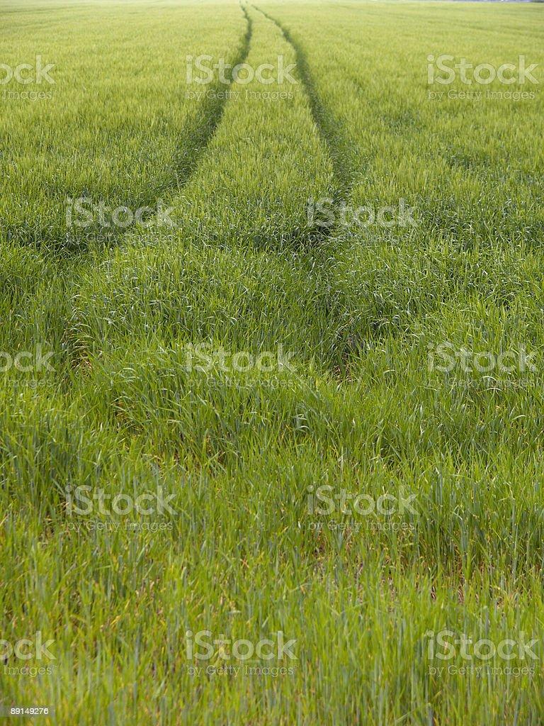 Green wheat field 1 stock photo