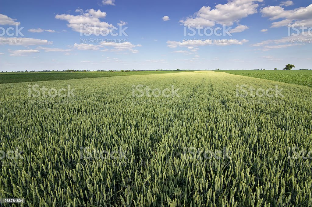 Green Wheat field and countryside scenery. Wheat Field and Clouds stock photo