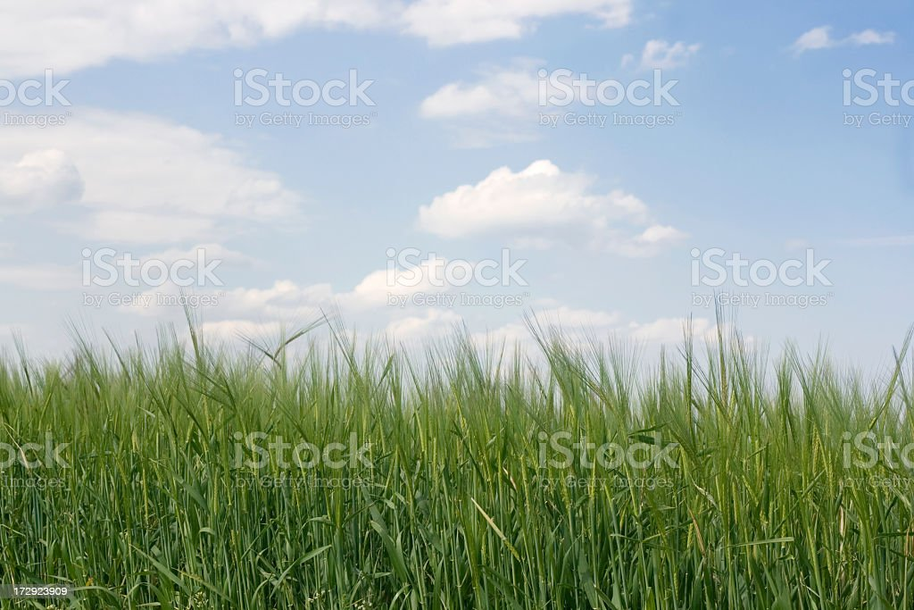 Green wheat field and sky royalty-free stock photo