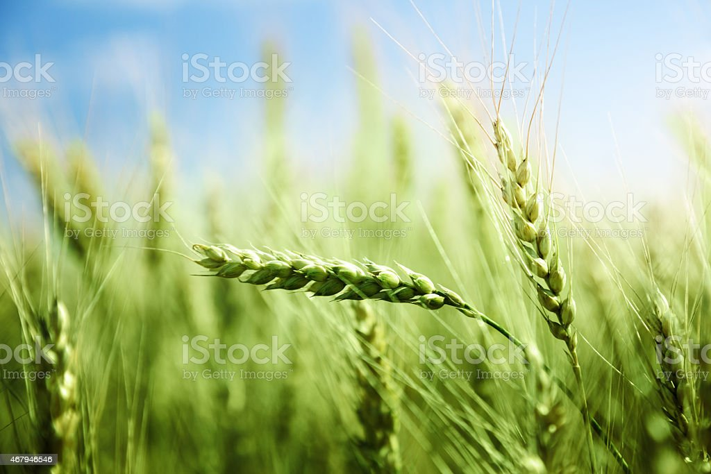 green wheat field and sunny day stock photo