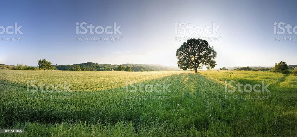 Green wheat field and tree in it stock photo