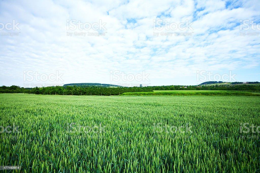 Green wheat field in Rheingau stock photo