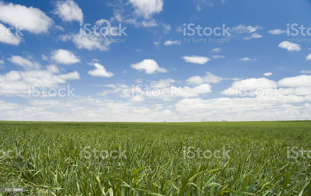 Green Wheat Field in Spring royalty-free stock photo