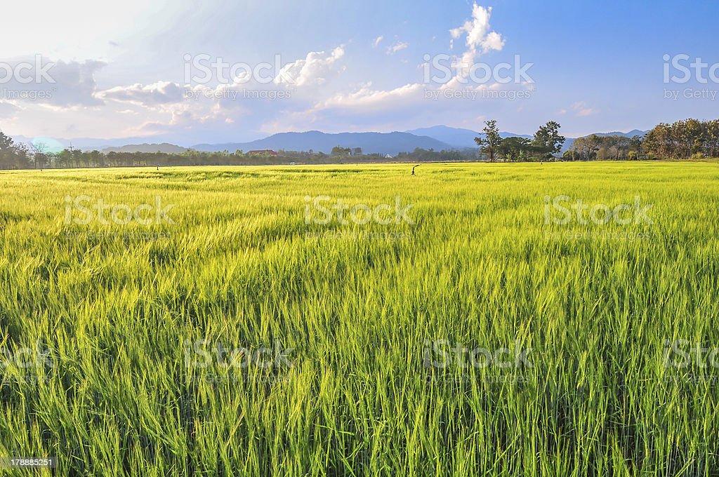 Green wheat field. royalty-free stock photo