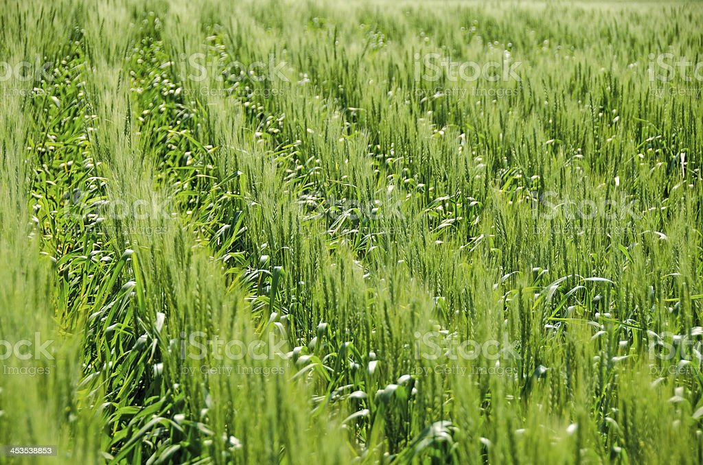 Green Wheat Field royalty-free stock photo