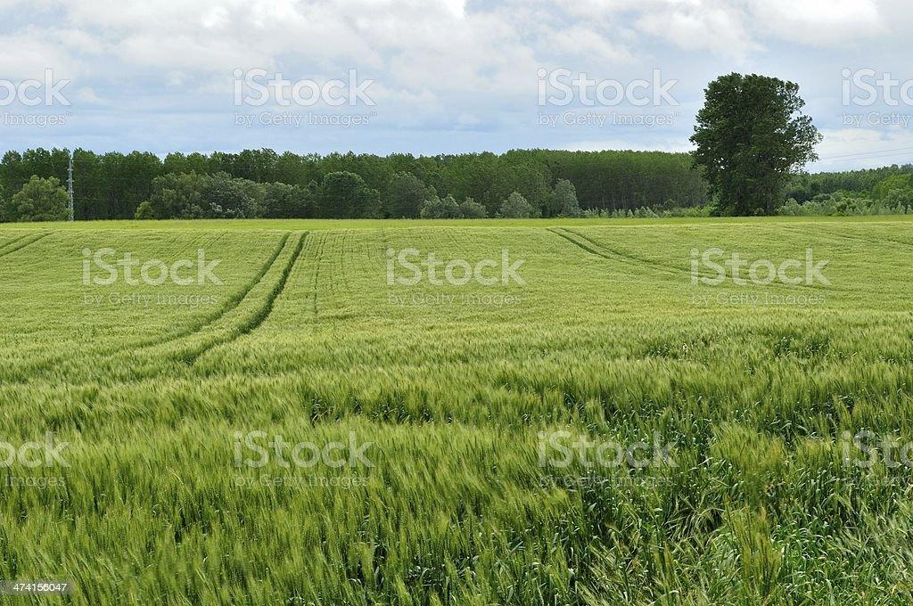 Pole pszenicy zielony zbiór zdjęć royalty-free