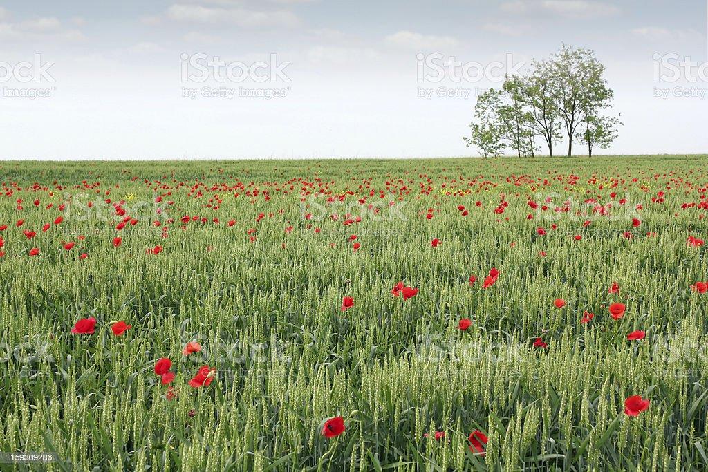 green wheat field spring scene royalty-free stock photo