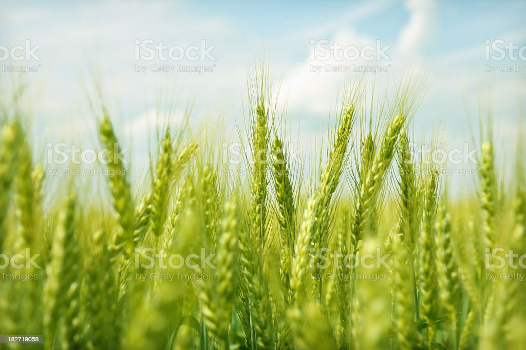 Green wheat field swaying in the breeze under a blue sky stock photo