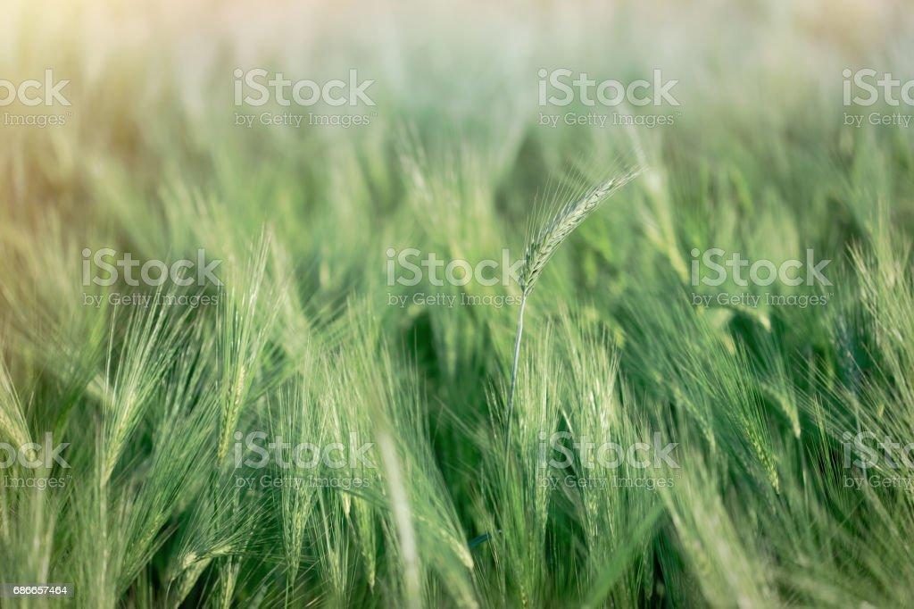 Green wheat field, unripe crop field stock photo