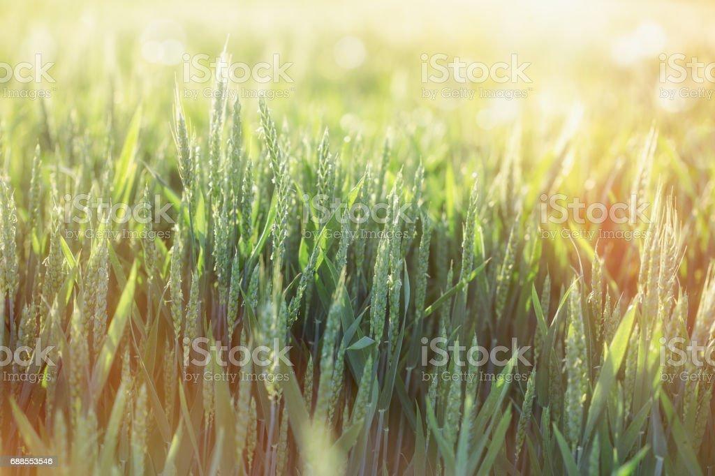 Green wheat field - unripe wheat lit by sunlight stock photo
