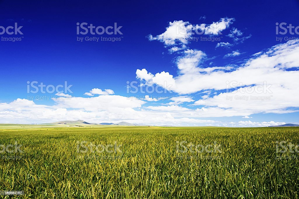 Green wheat  fields royalty-free stock photo