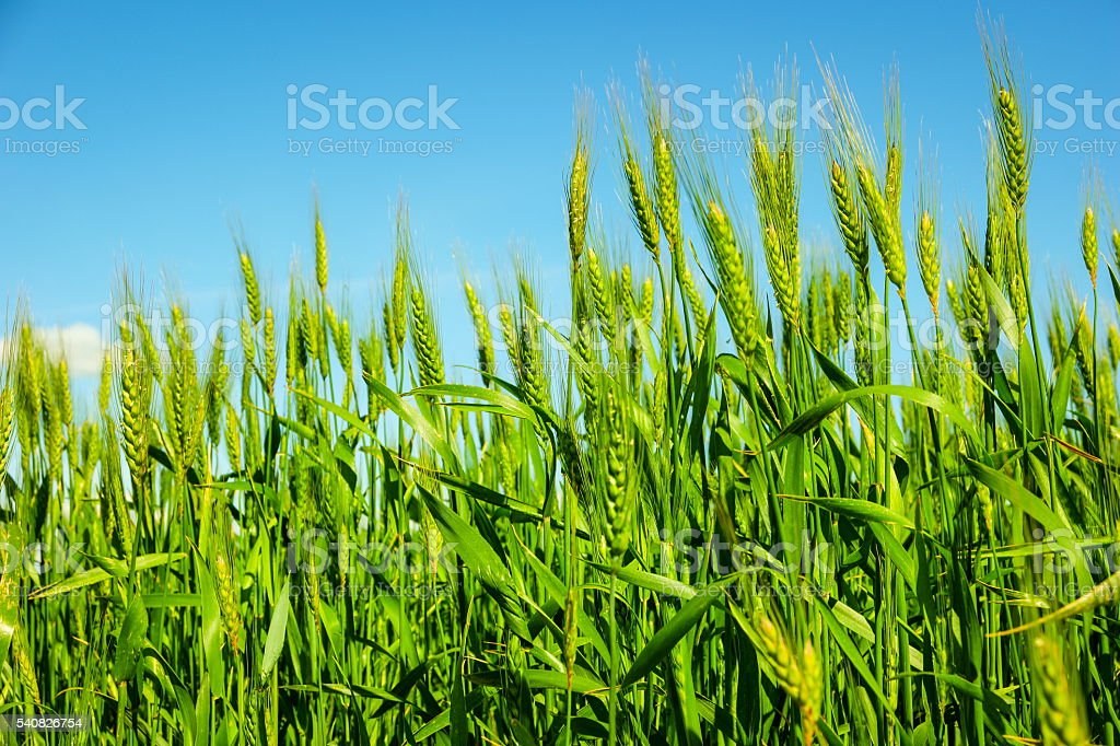 green wheat fields stock photo