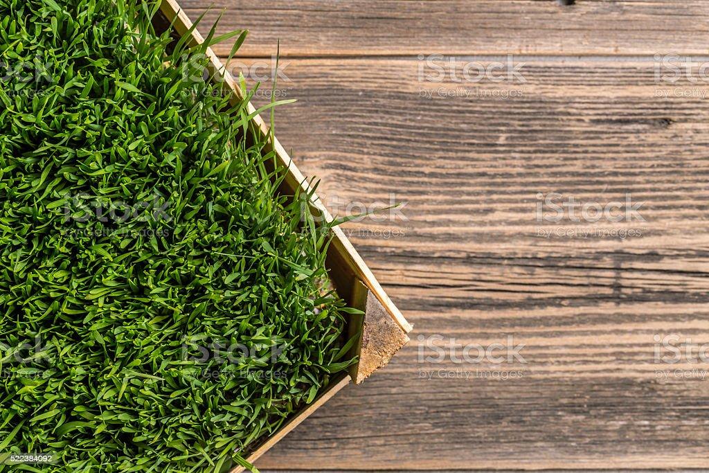 Green wheat grass stock photo