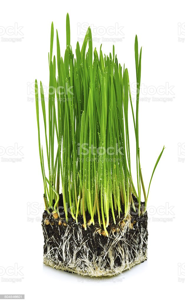 Green wheat grass with roots stock photo