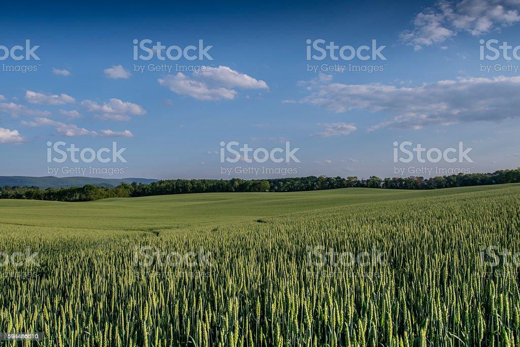 Green Wheat in Rural Field stock photo
