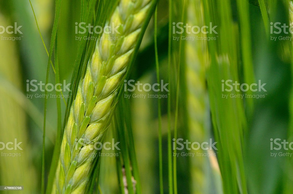 Green wheat in the field. stock photo