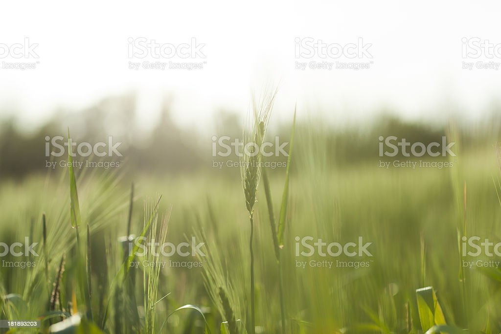 Green Wheat royalty-free stock photo