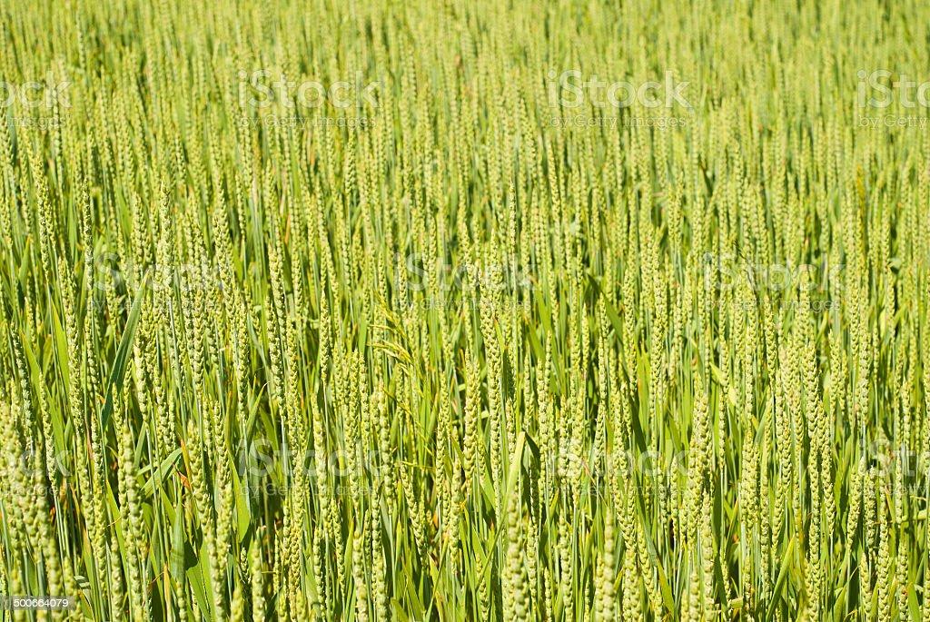 Trigo verde foto de stock libre de derechos