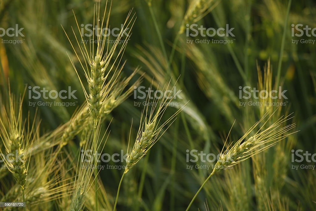 green wheat sacrificed stock photo