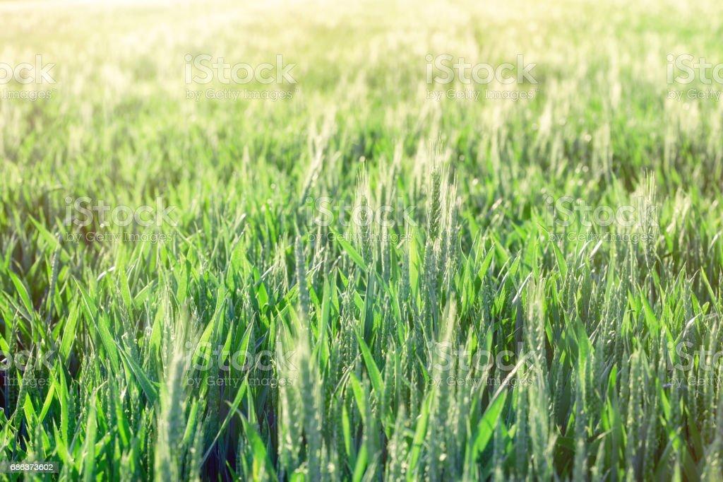 Green wheat - unripe wheat (wheat field) lit by sunlight stock photo