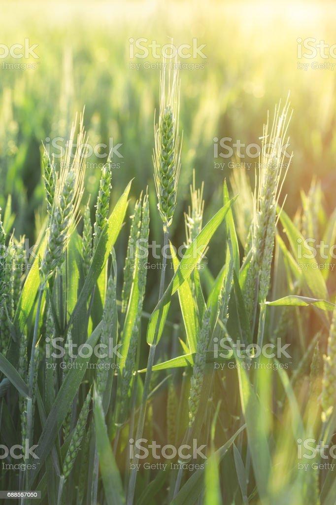 Green wheat - unripe wheat (wheat field stock photo