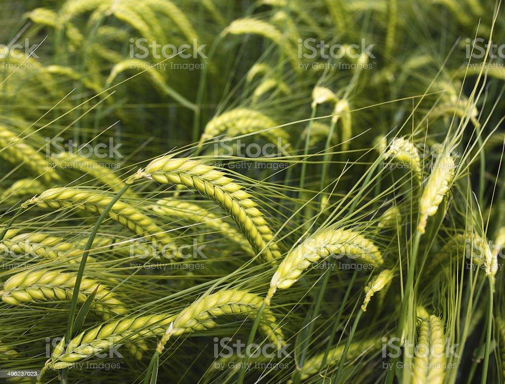 Green wheatfeald stock photo