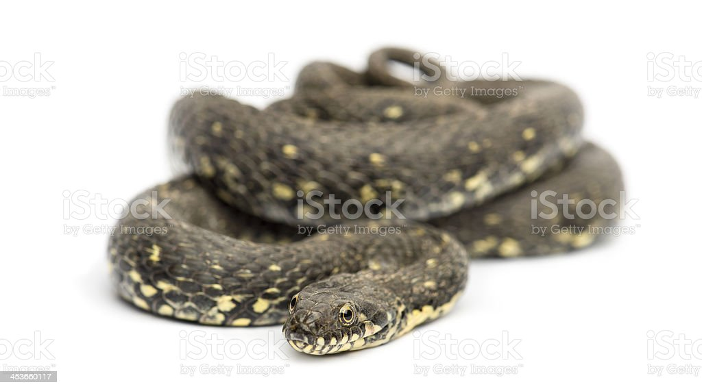 Green Whip Snake, Hierophis viridiflavus, isolated on white stock photo