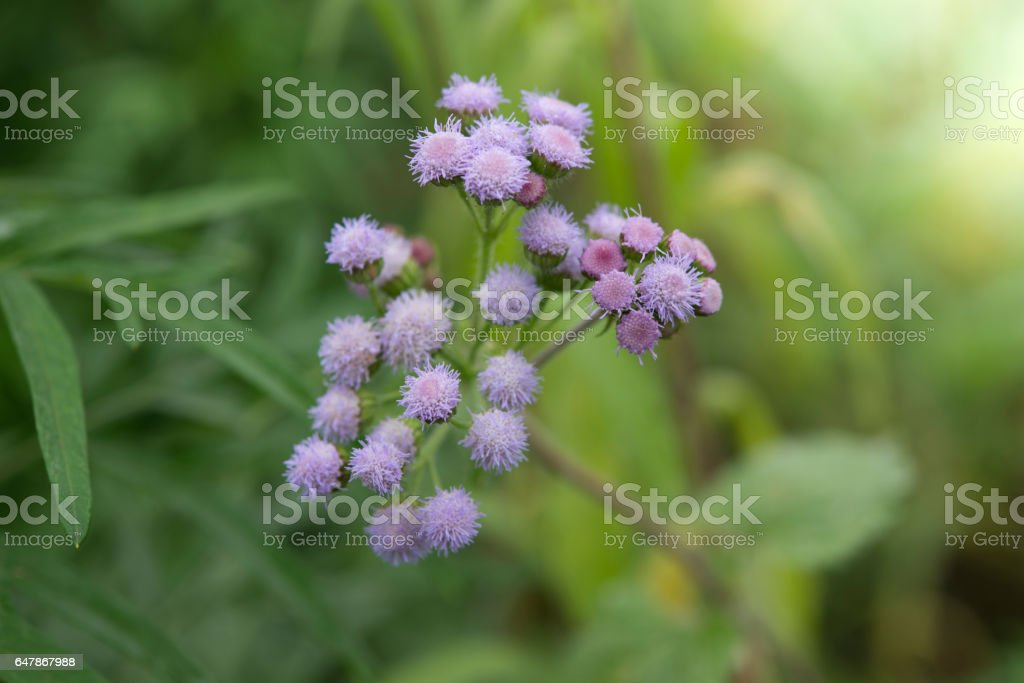 green wild herbal grass flowers (Vernonia cinerea Less., Little ironweed) with blur background stock photo