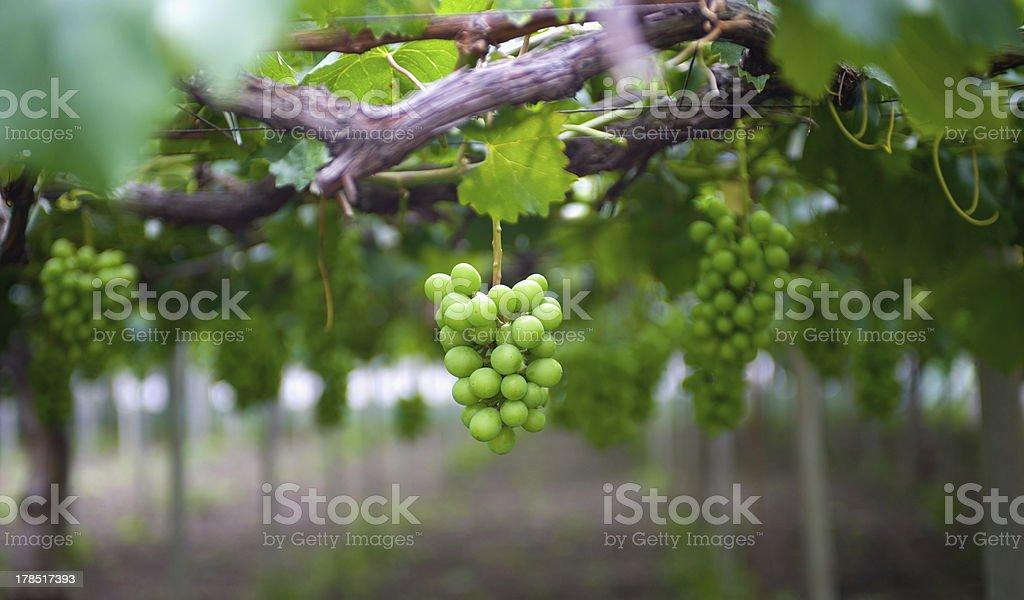Green wine grapes royalty-free stock photo