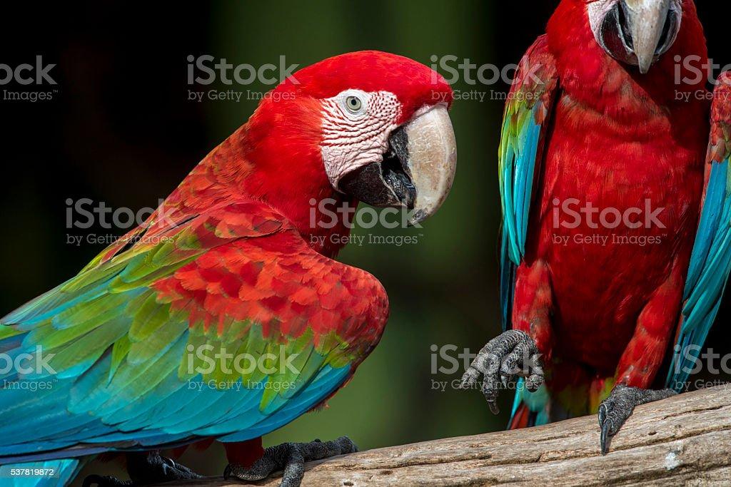 green wing macaw photo libre de droits