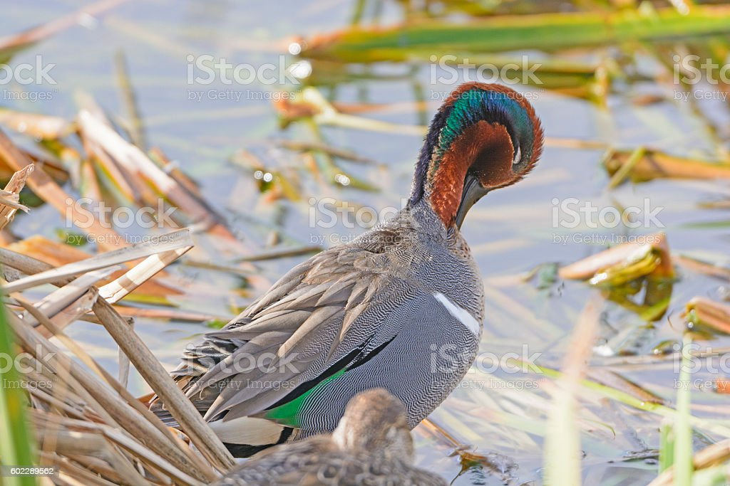 Green Winged Teal Preening stock photo