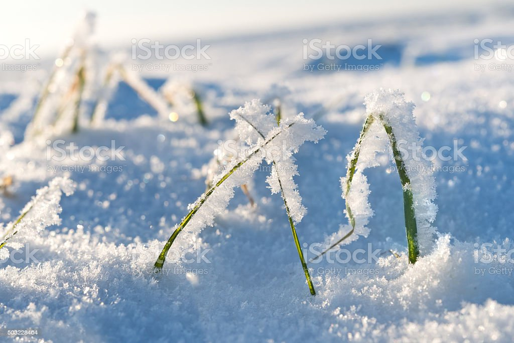 Green winter rye grass in frost, peeping from under snow. stock photo