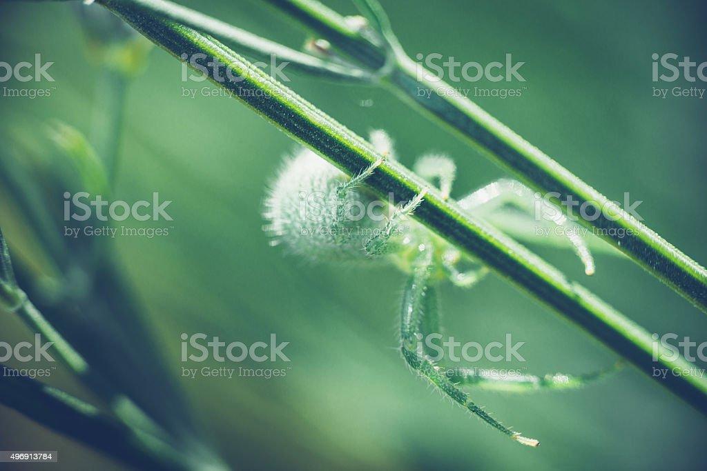 Green wolf spider stock photo