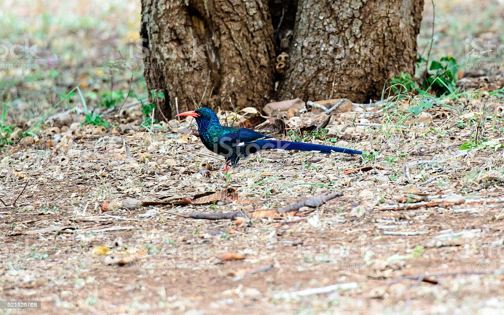 Green Wood hoopoe on the ground stock photo