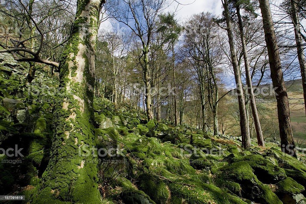 Green wood in wales royalty-free stock photo
