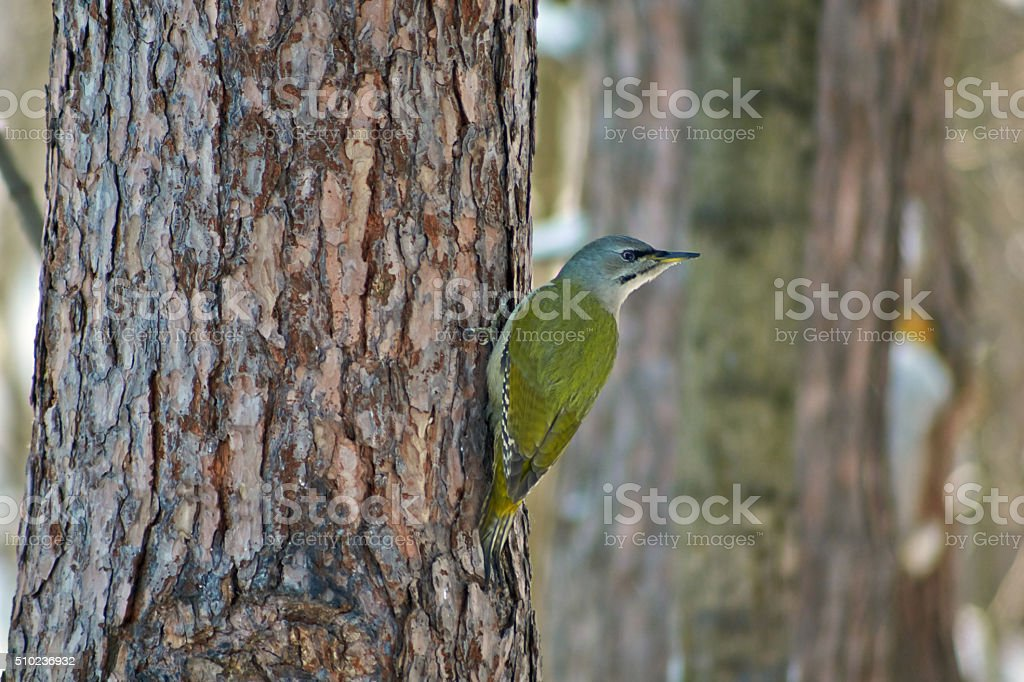 Green woodpecker on a background forest. stock photo